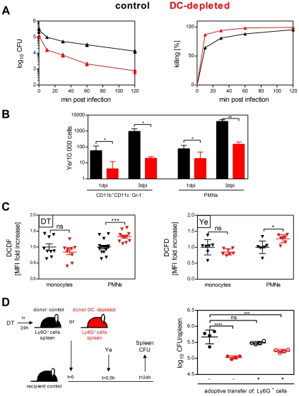 Phagocytes from DC-depleted mice are more effective in bacterial killing. ( A ) Splenocytes from DT-treated control (black symbols) and DC-depleted (red symbols) mice were incubated in vitro with Ye (MOI 1) for 10 min. Cells were extensively washed and either plated directly on MH agar plates or incubated further in the presence of gentamicin for the indicated time points before plating. The diagrams show the CFU as log scale (left) and the frequency of killed Ye (right) from one representative out of two experiments with quintuplicates including mean ± SD. ( B ) Viable intracellular Yersinia from sorted CD11b + Gr-1 − spleen cells or neutrophils of DT-treated control (black symbols) and DC-depleted (red symbols) mice injected with 5×10 4 Ye pYV + were analyzed by plating serial dilutions 1 and 3 dpi. CFU were analyzed per 10.000 sorted spleen cells. Data are from two independent experiments with three to six mice per group (mean ± SD). * indicates statistically significant differences (Student's t -test). ( C ) Flow cytometry analyses of ROS production in monocytes and neutrophils from DT-treated control (black symbols) and DC-depleted (red symbols) uninfected mice (left diagram) or injected for 2 h with 5×10 4 Ye pYV + (right diagram) using 2′, 7′-Dichlorofluorescin diacetate reagent (DCFD). The graph shows fold increase of median fluorescence intensity of DCFD in monocytes and neutrophils from DC-depleted mice compared to control mice. Each symbol represents an individual mouse; horizontal lines indicate the mean ± SD. * indicates statistically significant differences (one-way ANOVA with Bonferroni post test). Data are from 6 independent experiments. ( D ) Splenic neutrophils from DT-treated control mice (black open circles) or DC-depleted mice (red open circles) were purified, adoptively transferred into control mice and infected with 5×10 4 Ye 30 min later. Control (black circles) or DC-depleted (red circles) mice received <t>PBS</t> instead of neutrophils. The