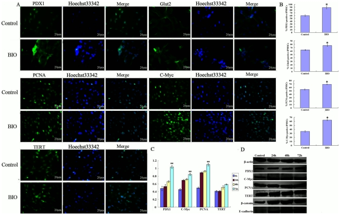 The GSK-3 inhibitor BIO promotes self-renewal of iPMSCs. A, Immunofluorescene staining analysis showed iPMSCs were positive for PDX1, Glut2, PCNA, C-Myc and TERT in the absence or presence of BIO, Bar = 20 µm; B, The percentage of positive cells treated with BIO or not from A; C, QRT-PCR analysis showed that the expression of pancreatic islets-specific marker PDX1 and pluripotent markers C-Myc, PCNA and TERT had an up-regulated trend in BIO cultured cells (24, 48, 72 h); D, Treated with BIO (24, 48, 72 h), western blotting analysis showed the expression of PDX1, PCNA, C-Myc, TERT and E-cadherin proteins had an upward trend compared with untreated cells. Bar = 20 µm, * P