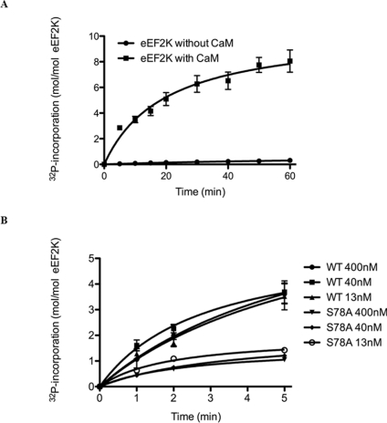 Recombinant eEF2K undergoes Ca 2+ /CaM-dependent autophosphorylation ( A ) GST–eEF2K was incubated with [γ- 32 P]ATP in the presence or absence of Ca 2+ /CaM as described in the Experimental section. At the indicated times, samples were analysed by SDS/PAGE for measurements of 32 P incorporation. The values are means±S.E.M. ( n =3). ( B ) Autophosphorylation was measured as in ( A ) with the indicated concentrations of wild-type (WT) eEF2K and eEF2K[S78A] mutant.