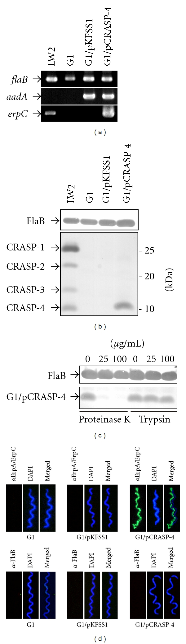 Characterization of B. garinii G1 producing CRASP-4. (a) B. garinii G1 and transformed strains G1/pKFSS1 and G1/pCRASP-4 were characterized by PCR amplification using flaB- , aadA- , and erpC -specific primers, as listed in Table 1 . (b) Synthesis of CRASP-4 by transformed G1 was assessed using ligand affinity blotting. Whole cell lysates (15 μ g each) of G1, G1/pKFSS1 and G1/pCRASP-4 were separated by SDS-PAGE, and transferred to nitrocellulose. After incubation with NHS, binding of CFH to CRASP-4 was identified using a polyclonal antiserum. A monoclonal antibody, L41 1C11, specific for the flagellin protein FlaB, was applied to show equal loading of borrelial lysates. (c) Surface localization of CRASP-4 in transformed G1 cells. Spirochetes were incubated with or without proteinase K or trypsin, respectively, then lysed by sonication, and total proteins were separated by SDS-PAGE. CRASP-4 was identified by ligand affinity analysis as described above. Flagellin (FlaB) was detected with MAb L41 1C11 (dilution 1/1000) by Western blotting. (d) Demonstration of surface expression of CRASP-4 by transformed B. garinii G1, by indirect immunofluoresecence microscopy of intact borrelial cells. Spirochetes were incubated with rabbit polyclonal anti-ErpA/ErpC antiserum before fixation. Periplasmic FlaB, used as control, was detected by mAb L41 1C11 using fixed and unfixed cells. For counterstaining, the DNA-binding dye DAPI was used to identify all bacteria. Slides were visualized at a magnification of ×1,000 using an Olympus CX40 fluorescence microscope mounted with a DS-5Mc charge-coupled device camera (Nikon).
