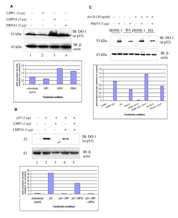 LMP1, but not LMP2A or EBNA1, reduces p53 protein levels . (A) Western blot analysis of the effects of LMP1, LMP2A and EBNA1 on the expression levels of endogenous p53 protein in U2OS cells. Transfection of LMP1 reduced the level of p53 protein. (B) Co-transfection of LMP1 abolished p53 protein level in HONE1 NPC cells transiently transfected with p53. A slight reduction in the exogenous p53 protein level in LMP2A co-transfected in HONE1 NPC cells setting but not in U2OS cells in (A). ( C ) EBV-negative HONE1 and EBV-positive HONE Akata (HA) cells were transfected with p53 construct. p53 protein levels were determined in the Actinomycin-D induced and uninduced state. EBV-positive HA NPC cells have lower levels of p53 protein in comparison with EBV-negative HONE NPC cells. β-actin was served as a loading control in all the three experiments. Representative blots were quantitated using Image J.