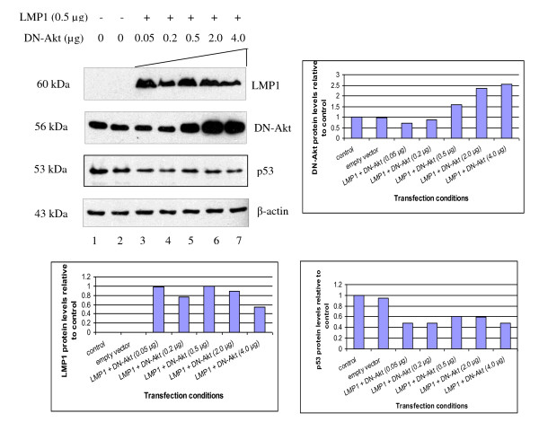 Dominant-negative Akt (DN-Akt) does not restore p53 protein levels . Western blot detection of LMP1, Dominant-negative Akt (DN-Akt) and p53 protein levels in U2OS cells transfected with fixed amount of LMP1 (0.5 μg) and titrated with DN-Akt (0.05 - 4.0 μg). β-actin was served as a loading control in the experiment. Representative blots were quantitated using Image J. Increasing amounts of DN-Akt (detected by anti-Akt antibodies) did not rescue reduction of p53 protein levels by LMP1.