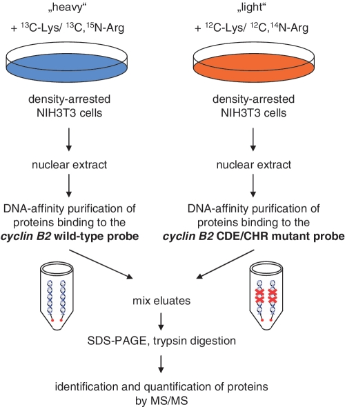 Strategy for the identification of proteins binding to the CDE/CHR tandem element of the mouse cyclin B2 promoter. NIH3T3 cells were labeled by cultivation in 'heavy' medium lacking natural Lys and Arg amino acids supplemented with 13 C 6 lysine and 13 C 6 , 15 N 4 arginine or regular 'light' medium ( 12 C-Lys/ 12 C, 14 N-Arg). After density arrest in G 0 , nuclear extracts were prepared. DNA affinity purification was performed with biotinylated cyclin B2 wild-type and CDE/CHR mutant probes. Precipitated proteins were separated by SDS–PAGE, digested with trypsin and analyzed by mass spectrometry.
