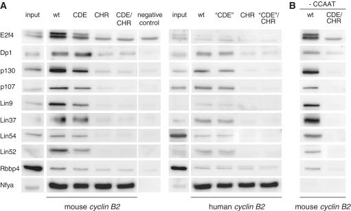 In vitro analysis of DREAM protein binding to cyclin B2 wild-type or mutant promoters. Nuclear extracts of density-arrested NIH3T3 cells were employed for DNA affinity purification using biotinylated human or mouse cyclin B2 promoters. ( A ) Binding was tested to wild-type, CDE, CHR or CDE/CHR mutant DNA probes by western blot analysis. As a negative control, a fragment of the Gapdhs promoter was used. As a protein binding to all cyclin B2 probes containing CCAAT-boxes, Nfya was detected. ( B ) Binding of the DREAM complex to the cyclin B2 promoters is independent of CCAAT-boxes. A truncated fragment of the mouse cyclin B2 promoter ending upstream of the CDE lacking the CCAAT-boxes was assayed for DREAM binding in comparison to a probe of the same length but with mutated CDE and CHR elements.