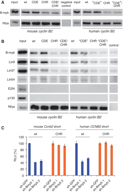 The MMB complex binds and activates the cyclin B2 promoters through the CHR. ( A ) Nuclear extracts of proliferating NIH3T3 cells were employed for DNA affinity purification with biotinylated DNA probes of the human and mouse cyclin B2 promoters. Protein binding to wild-type, CDE, CHR or CDE/CHR mutant promoter fragments was tested by western blot analysis. As a protein binding to all cyclin B2 probes containing CCAAT-boxes, Nfya was detected. As a negative control, a fragment of the Gapdhs promoter was used. ( B ) Binding of the MMB complex to the mouse and human cyclin B2 DNA probes was assayed with DNA affinity purification of proteins derived from F9 cell nuclear extracts followed by western blot. Note that the DREAM complex components E2f4 and p130 do not bind to the probes. ( C ) To determine the effect of B-myb knockdown on the activity of mouse and human cyclin B2 promoters, NIH3T3 cells were transfected with the reporter constructs mouse Ccnb2 short and human CCNB2 short (wild-type or CHR mutant) together with vectors expressing shRNAs targeting B-myb (sh-Bmyb 1, sh-Bmyb 2). A shRNA construct expressing a non-targeting GFP-shRNA served as a negative control (sh-GFP). Luciferase activities were measured 48 h after transfection.