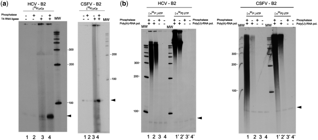 Enzymatic determination of the new 3′-end of HCV and CSFV RNA end-groups produced by UV-C-induced self-cleavage. ( a ) <t>T4</t> RNA ligase treatment of gel-purified HCV RNA 1–130 (left panel) and CSFV RNA 1–218 (right panel) cleavage product band B2. B2 RNAs [4000 dpm (10 5 dpm/µg)] were incubated with T4 RNA ligase and [5′- 32 P]pCp. Lane 1: control reaction with B2 RNA incubated in SAP phosphatase buffer, then in ligase buffer and [5′- 32 P]pCp in the absence of any enzyme; Lane 2: control reaction of B2 RNA treated the same as in lane 1 but incubated with the phosphatase; Lane 3: B2 RNA incubated with T4 RNA ligase without previous dephosphorylation; Lane 4: complete reaction of B2 RNA incubated with the ligase after being treated with the phosphatase. ( b ) Addition of [ 32 P]-labeled poly (A) or poly (U) to bands B2 of HCV (left panel) and CSFV (right panel) with E. coli poly (A) polymerase or Schizosaccharomyces pombe poly (U) polymerase.A total of 4000 dpm RNA (10 5 dpm/µg) was used for both viral RNAs. A total of 20 µCi of the labeled nucleotide (ATP or UTP) was distributed for the four reactions. Lanes 1 and 2: B2 RNA incubated with the poly (A) polymerase after being treated or not with shrimp alkaline phosphatase, respectively. Lanes 3 and 4: control reactions of B2 RNA treated or not with the phosphatase but without incubation with the polymerase. Lanes 1′ 2′ 3′ and 4′ same as above, but using poly (U) polymerase. MW is a molecular weight marker.