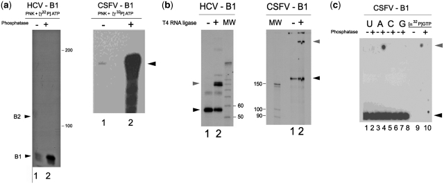 Enzymatic determination of the new 5′-end of HCV and CSFV RNA end-groups produced by UV-C-induced self-cleavage. ( a ) Phosphatase-dependent 5′-terminal labeling of both HCV RNA 1–130 cleavage product (B1) (left panel) and CSFV RNA 1–218 cleavage product (B1) (right panel) by polynucleotide kinase. Aliquots (10 000 dpm) of product bands (10 5 dpm/µg) were treated with polynucleotide kinase and [γ- 32 P]ATP, after treatment with Artic Phosphatase (lane 2) or without phosphatase pre-treatment (lane 1). ( b ) Cyclization of HCV (left panel) and CSFV (right panel) RNA product bands B1 by T4 RNA ligase [with 10 000 dpm (10 5 dpm/µg) RNA]. Lanes 1: HCV and CSFV B1 bands incubated without T4 RNA ligase; lanes 2: complete reaction (cyclized RNA: upper band). ( c ) Phosphatase treatment of singly labeled CSFV. Calf alkaline phosphatase was used to treat CSFV band B1 aliquots (50 000 dpm of 107 dpm/µg), followed by high-voltage electrophoresis at pH 1.9 on Whatman DE81 DEAE paper ( 16 ). B1 RNA is at the bottom and free phosphate at the top. 'U', 'A', 'C' and 'G' indicate RNAs labeled with [α- 32 P]UTP, ATP, CTP or GTP, respectively, whereas 'αGTP' indicates a control containing 1000 dpm of pure [α- 32 P]GTP.