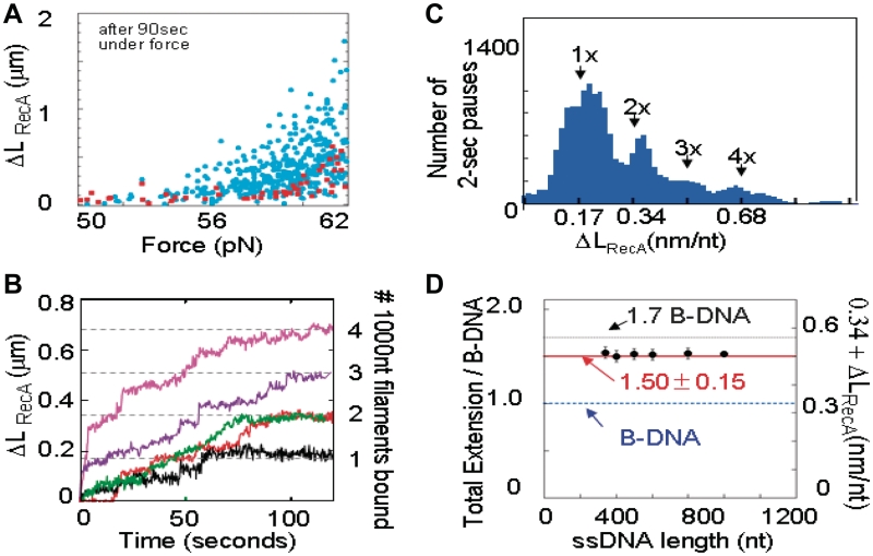 RecA–ssDNA filaments extend non-homologous dsDNA pulled by 3′5′ ends. ( A ) Δ L RecA 's for λ dsDNAs controls with free ssDNA or λ dsDNA only (red, N = 87) and λ dsDNAs with RecA–ssDNA filaments (blue, N = 454). ( B ) Single molecule extension profiles for non-homologous binding. Different colors are used to represent the response for each different single molecule. The curves ending at positions corresponding to 1, 3 and 4 filaments are 57.0, 59.0 and 60.9 pN, respectively. The red and green curves ending at two-filament lengths correspond to 58.9 and 57.2 pN, respectively. The filaments were prepared in a buffer containing ATPγS, but measured in a buffer containing ATP Pauses at full filament lengths are indicated by horizontal bars the same color as the curve. ( C ) Δ L RecA probability distributions for periods of ≥2 s constant λ dsDNA length, for all filaments of 400–800 nt at 50–62 pN. ( D ) DNA extensions within homology search complexes on dsDNA (color) or λ ssDNA.