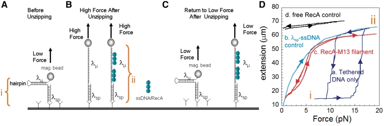 Interaction of RecA–ssDNA filaments with ssDNA during DNA 'unzipping'. Representation of unzipping experiment: One λ dsDNA molecule (λ sp ) acts as spacer and the second λ dsDNA (λ µ ) is unzipped by force. λ µ contains a hairpin connecting its two constituent ssDNA strands at one terminus and a magnetic bead at the free terminus between λ sp and λµ. i is the extension distance for forces between ∼ 2 and 12 pN at which λ sp B-form duplex molecule is stretched out, but the λ µ molecule remains fully zipped. ii is the extension distance at which λ µ is fully unzipped, but the λ sp remains in B-form. ( A ) The initial extension before unzipping. ( B ) The extension after unzipping while a force > 15 pN is maintained. ( C ) The extension after the force has been lowered to ∼5 pN. ( D ) Extension versus force curves for unzipping. The force was first increased and then decreased. ( a ) No added protein or nucleoprotein filaments ( b ) 'unrezippable' control curve constructed by taking the sum of the extension versus force curves for λ sp alone and two times that for a λ ssDNA strand obtained by thermal melting of dsDNA. (Note: in this case rezipping is impossible because the complementary strand is not present.) ( c ) Unzipping in the presence of RecA–ssDNA filaments (M13 ssDNA). ( d ) Unzipping in the presence of free RecA protein. In (a), (c) and (d) curves generated by increasing force differed from those generated by decreasing force. In these cases, upturned arrowheads mark the ascending curves and down-turned arrowheads the descending ones.