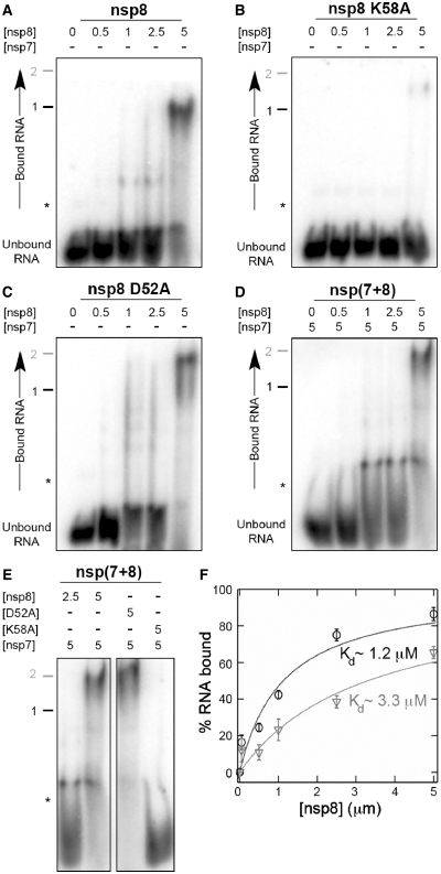 SARS-CoV nsp7 stimulates nsp8-dependent RNA binding. ( A ) Five prime 32 P-labelled dsRNA was incubated with increasing concentrations (0–5 µM) of wild-type nsp8, ( B ) nsp8 K58A, ( C ) or nsp8 D52A. Clearly, mutation of K58 to alanine significantly reduced the binding affinity of nsp8, whereas mutation of D52 to alanine did not. We also noted that the change in charge due to the mutation (up to 8-fold in the octamer) resulted in an upward shift of the dominant RNP band, relative to the dominant RNP in panel 3 A (labelled with black 1). ( D ) Five prime 32 P-labelled duplex RNA was incubated with a fixed concentration of nsp7 (5 µM) and increasing concentrations of wild-type nsp8 (0-5 µM). Note the migration shift of the dominant ribonucleotide-protein (RNP) complex in the presence of nsp7 (compare RNPs labelled with black 1 and grey 2). ( E ) Addition of an equimolar amount of nsp7 to the nsp8 mutants D52A and K58A stimulated binding of dsRNA. For reference, the 2:1 and 1:1 ratios of wild-type nsp8 and nsp7 are shown in the left panel. Asterisks indicate non-specific bands. ( F ) RNA-binding curves for nsp8 in the absence (grey triangles) or presence of a fixed (5 µM) concentration of nsp7 (black circles). Lines represent fits to the Hill equation, while error bars represent standard deviations ( n = 3).
