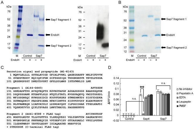 Biochemical characteristics of Sap7. (A) SDS-PAGE (left) and western blot (right) analysis of Sap7 with or without EndoH treatment. Analyses of all bands by MALDI-TOF/MS and N-terminal sequencing showed that Sap7 consisted of 2 fragments: fragment 1 (52 kDa) and fragment 2 (15 kDa). Fragment 2 was highly, heterogeneously N -glycosylated, as revealed by EndoH treatment and western blot analysis, which detected the FLAG-tag epitope conjugated at the C-terminal end of Sap7. M: marker, control: protein extracted from the culture supernatant of P. pastoris transformed with a control pHIL-S1 vector. (B) Non-reducing SDS-PAGE analysis. Electrophoretic pattern of non-reduced SDS-PAGE was the same as that of reduced, indicating that the 2 fragments interacted in a non-covalent manner. (C) Primary structure of Sap7. Sap7 was separated into 2 fragments: Fragment 1 was a 52-kDa subunit composed of A144-G440; fragment 2 was a 15-kDa subunit composed of A441-E588. (D) Sensitivity of proteolytic activity to major protease inhibitors. Proteolytic activity was measured using the FRETS-25Ala library with or without various protease inhibitors. While the activity of Sap4 was completely inhibited by pepstatin A, Sap7 did not show sensitivity to any protease inhibitors used here. Averages of at least 3 independent experiments are plotted, and the error bars show S.E.M. ** P