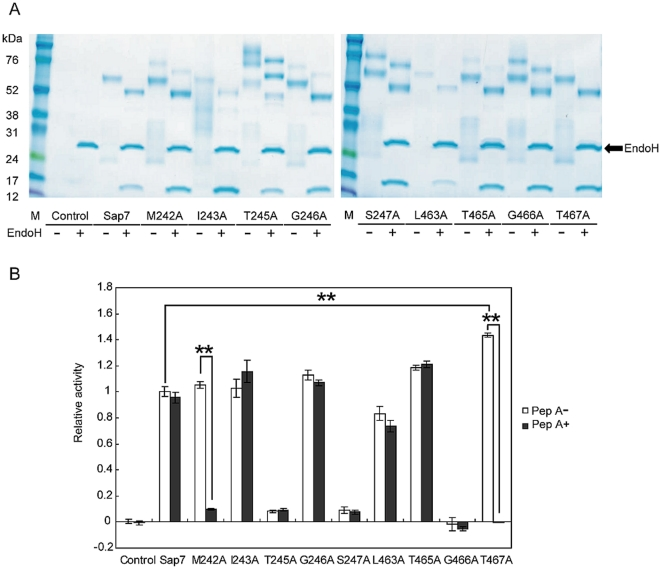 M242 and T467 are important amino acids in restricting the accessibility of pepstatin A to the active site. (A) SDS-PAGE analysis of alanine substitution mutants with or without EndoH treatment. All mutants were successfully produced by P. pastoris , and a 15-kDa band was confirmed in all samples. M: marker. (B) Proteolytic activity with or without pepstatin A. After pepstatin A treatment, M242A showed some proteolytic activity, while T467A showed none. Relative activity of the T467A mutant was significantly stronger than that of wild type. Average of at least 3 independent experiments are plotted, and the error bars are shown as ±S.E.M. ** P