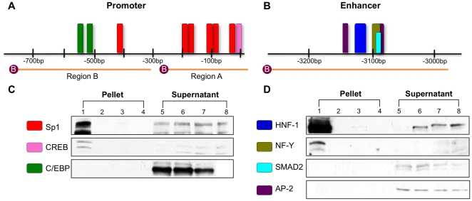 DNA-protein avidin-agarose pull-down assay results confirm transcription factor binding. Two probes for the promoter (A) and one probe for the enhancer (B) encompass the highly conserved transcription factor binding motifs of NAGS . The motif colors reflect the colors used in figures 4A and B . Assays followed by immunoblot confirmed binding of Sp1 and CREB, but not C/EBP within the promoter (C) and HNF-1 and NF-Y, but not SMAD3 or AP-2 within the enhancer regions (D). Lanes 1–4 represent precipitated proteins from mouse liver nuclear extract bound to biotinylated probes of the regions of interest (Lane 1), non-biotinylated probes of the regions of interest (Lane 2), biotinylated probes of non-specific regions (Lane 3), and no probe (Lane 4). Lanes 5–8 represent supernatant fluid from overnight incubation of biotinylated probes of the region of interest (Lane 5), non-biotinylated probes of the region of interest (Lane 6), biotinylated probes of the non-specific regions (Lane 7), or no probe (Lane 8). Immunoblots are representative of at least three replicate experiments.