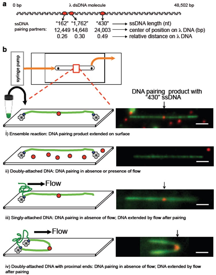 DNA pairing by RecA, imaged using single-molecule TIRFM, suggests that the three-dimensional conformation of target dsDNA is important in the homology search a , DNA substrates.  b , DNA pairing between λ DNA (green) and RecA filament assembled on 430 nt ssDNA (red): i) ensemble reaction examined by TIRFM; ii-iv)  in situ  reactions, dsDNA attached prior to pairing: ii) doubly-attached extended DNA, iii) singly-attached DNA, and iv) doubly-attached DNA with ends in proximity. Homologously paired products were observed in iii and iv when DNA was relaxed by stopping flow, and then flow-extended for visualization. White bar = 2.4 μm.