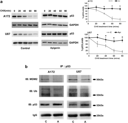 CK2 inhibition leads to p53 protein stabilization. ( a ) CK2-I prevents degradation of p53. Glioma cells, either untreated or treated with Apigenin for 12 h were further treated with CHX for the indicated times. Western blot analysis was performed to determine p53 levels in the lysates. Representative blot is shown from three independent experiments with identical results. Blots were reprobed for GAPDH to establish equivalent loading. Densitometric analysis shows p53 levels upon CHX treatment in the presence and absence of Apigenin. ( b ) CK2-I decreases MDM2–p53 interaction and p53 ubiquitination in glioma cells. Lysates from cells treated with Apigenin were immunoprecipitated with p53 and probed with antibodies against MDM2 and ubiquitin. IgG levels are shown to establish equivalent loading. Representative blot is shown from two independent experiments with identical results. * Denotes significant change from control ( P