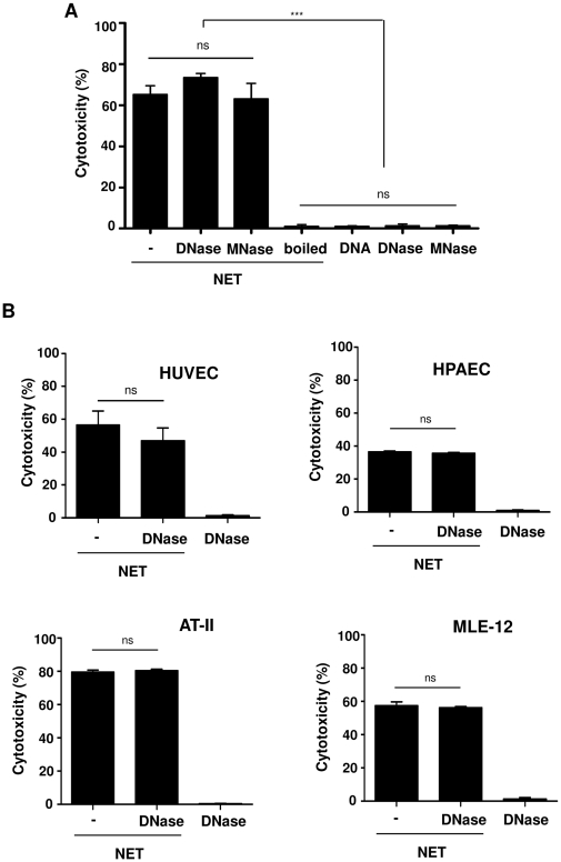 NET induce cytotoxicity in epithelial and endothelial cells independent of digestion. (A) The extent of cytotoxicity was measured after treatment of A549 cells for 16 h with undigested NET (−), completely (DNase), partially digested (MNase) or boiled forms of NET. The same concentration of DNA alone as DNA-NET (3.4 µg/ml) as well as DNase or MNase alone were used as controls. Shown are representative data of five independent experiments (mean SD), *** p