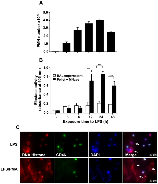 Neutrophils (PMN) in the BALF of mice produce NET after LPS treatment. (A) PMN, recruited to the BALF of mice following intratracheal LPS administration, were counted at different time intervals. (B) At the same time intervals, neutrophil elastase activity was measured in the supernatant of BALF ( free elastase, open bars ) as well as in the MNase-digested pellet of BALF ( NET-related elastase, filled bars ). (C) PMN were isolated from BALF of mice stimulated intratracheally with LPS for 24 h, and immunofluorescence staining of isolated cells was performed for DNA/histone (red), CD46 (green) and DAPI (blue) ( upper row ). Isolated PMN were further stimulated with PMA for 1.5 h ( lower row ); arrows indicate NET formation which is demonstrated by appearance of the extracellular chromatin, disintegration of the cell membranes as well as chromatin decondensation. Shown are representative data of three independent experiments (mean SD), *** p