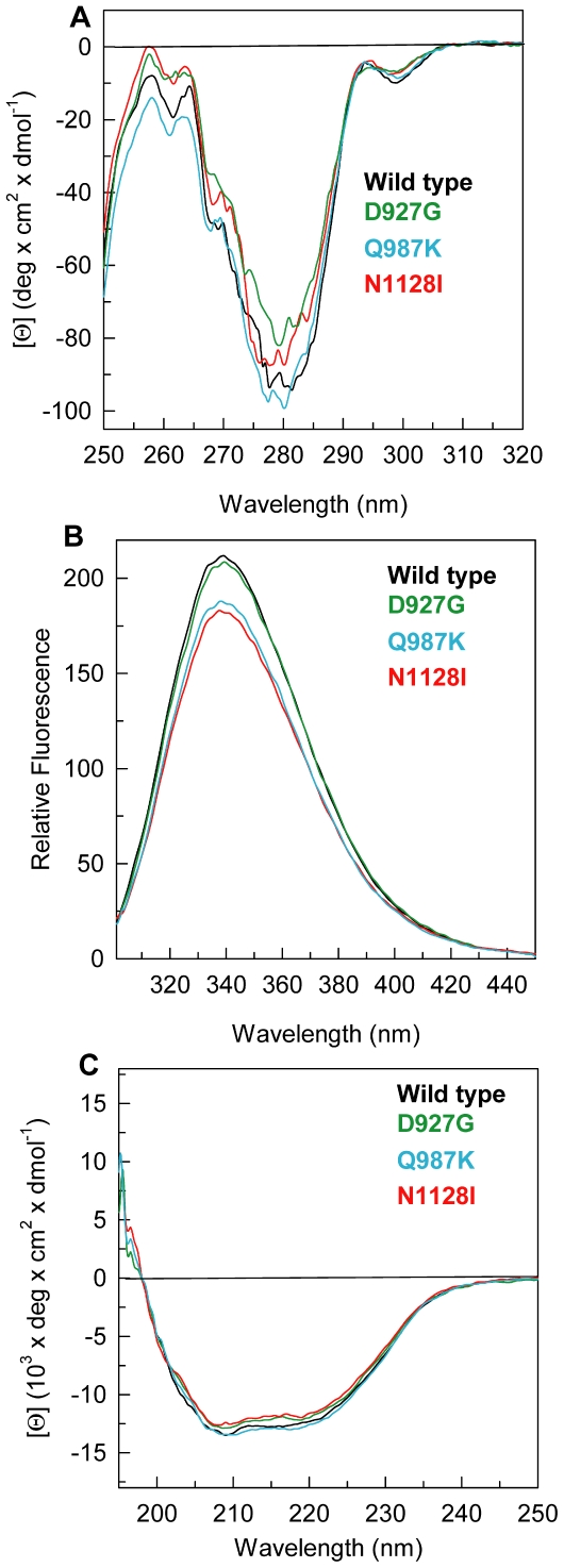 Spectroscopic properties of PTPρ wild-type and mutants. ( A ) Near-UV CD spectra were recorded in a 1-cm quartz cuvette at 1.0 mg/ml protein concentration in 20 mM Tris/HCl, pH 7.5 containing 0.2 M NaCl and 2 mM DTT. ( B ) Intrinsic fluorescence emission spectra were recorded at 0.04 mg/ml protein concentration (295 nm excitation wavelength) in 20 mM Tris/HCl, pH 7.5 containing 0.2 M NaCl and 200 µM DTT. ( C ) Far-UV CD spectra were recorded in a 0.1-cm quartz cuvette at 0.2 mg/ml in 20 mM Tris/HCl, pH 7.5 containing 0.2 M NaCl and 0.4 mM DTT.