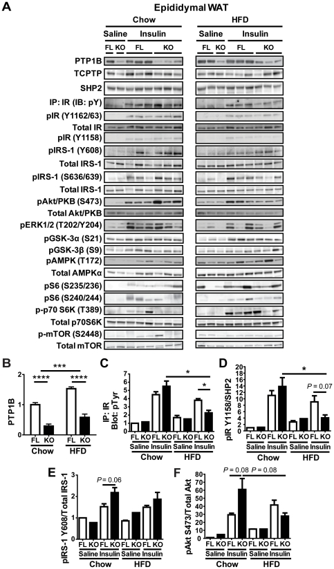 Reduced in vivo insulin signaling in epididymal white adipose tissue from HFD-fed adip-crePTP1B −/− mice. A : Epididymal white adipose tissue immunoblots of insulin signaling components in chow- and HFD-fed fl/fl and adip-crePTP1B −/− (KO) and fl/fl (FL) mice after injection with saline or insulin (10 mU/kg). B : PTP1B levels and deletion efficiency of fl/fl ( n = 4–5) and adip-crePTP1B −/− mice ( n = 4) in epididymal white adipose tissue under chow- and HFD-fed conditions. Graphs C to F show phosphorylation levels of the indicated proteins in epididymal white adipose tissue after saline or insulin (10 mU/kg) injection of chow- or HFD-fed fl/fl and adip-crePTP1B −/− mice, as indicated. Phosphorylated proteins were normalized as shown in the graphs. C : IP: IR (IB: pY). D : IR Y1158. E : IRS-1 Y608. F : Akt/PKB S473. White bar = fl/fl; black bar = adip-crePTP1B −/− . Data are represented as mean ± SEM; data were analyzed using two-way ANOVA with Bonferroni multiple comparisons post-tests to compare between diets, and two-tailed Student's t test to compare between different genotypes on the same diet (* P