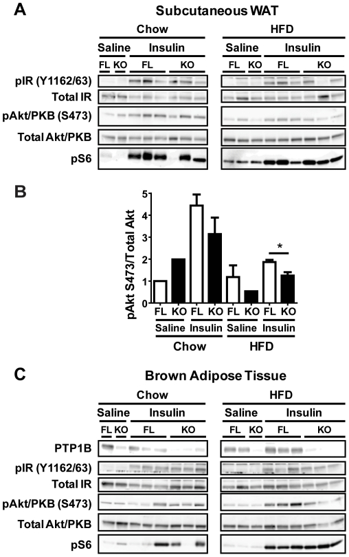 Reduced in vivo insulin signaling in subcutaneous white adipose tissue from HFD-fed adip-crePTP1B −/ − mice. A : Subcutaneous white adipose tissue immunoblots of insulin signaling components in chow- and HFD-fed fl/fl and adip-crePTP1B −/− (KO) and fl/fl (FL) mice after injection with saline or insulin (10 mU/kg). B : Akt/PKB S473 phosphorylation levels normalized to total Akt/PKB in subcutaneous white adipose tissue after saline or insulin (10 mU/kg) injection of chow- or HFD-fed fl/fl (FL) and adip-crePTP1B −/− mice (KO). C : Brown adipose tissue immunoblots of insulin signaling components in chow- and HFD-fed fl/fl and adip-crePTP1B −/− (KO) and fl/fl (FL) mice after injection with saline or insulin (10 mU/kg). White bar = fl/fl; black bar = adip-crePTP1B −/− . Data are represented as mean ± SEM; data were analyzed using two-tailed Student's t test (* P