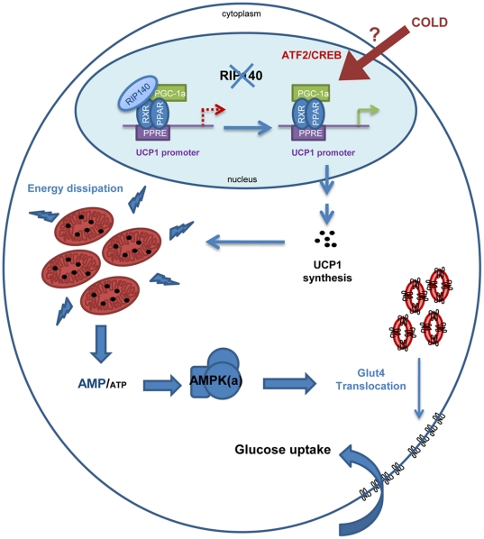 Schematic representation of the different steps leading to glucose uptake due to depletion of RIP140 in oxidative muscle. Absence of RIP140 leads to expression of UCP1 and mitochondrial uncoupling. Then, alteration of the AMP to ATP ratio in favor of elevated AMP activates AMPK which in turn stimulates GLUT4 translocation to the plasma membrane enabling the entry of glucose from blood circulation.