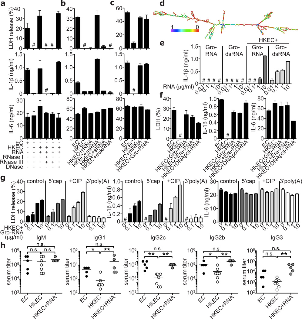 Bacterial messenger RNA constitutes an active vita -PAMP a–c and e–g . LDH, IL-1β and IL-6 at 24h. a. Total EC RNA treated with RNAse I and RNAse III, RNAse III alone, or DNAse prior to stimulation of BMDC. b. BMM treated with viable or HKEC, or HKEC with 0.1µg/ml of different bacterial RNA; ribosomal (rRNA), messenger (mRNA), small (sRNA) or eukaryotic RNA (eukRNA). c. BMDC responses. Gro-RNA; in vitro transcribed EC Gro-operon RNA. d. Predicted secondary structure of Gro-RNA. Colour code indicates base pairing probability. e. BMM treated with in vitro transcribed Gro-RNA or Gro dsRNA alone or with HKEC. f. BMDC responses. Era-RNA and DNApol-RNA; in vitro transcribed EC Era-GTPase and DNA-polymerase-III RNA, respectively. g . BMM treated with different doses of unmodified (control), or modified Gro-RNA with HKEC (5'cap, 5' m 7 G capping; CIP, calf intestinal phosphatase; 3'poly(A), 3'-polyadenylation). a–g. #, 'not detected', all RNA at 10µg/ml except as noted, data represent ≥5 experiments. h. Mice vaccinated and boosted twice with viable EC, HKEC or HKEC with 30µg total purified bacterial RNA (HKEC+RNA) (vaccination regimen in suppl. Fig. 22 ). Class-specific anti- E. coli antibody serum titers at 25 days. *; p≤0.05, **; p≤0.01, ***; p≤0.001. All bars represent mean ± s.e.m.