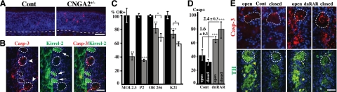 Correlations among neuronal activity, CNGA2 deficiency, Kirrel-2, caspase-3 activation, and cell death. A ) Representative images of activated caspase-3 immunohistochemical analyses of control (cont) and heterozygous female CNGA2-null mice (CNGA2 +/− ) at PD10. More cells were positive for activated caspase-3 (red signal) in the olfactory epithelium of CNGA2 +/− compared with control. Dashed lines indicate basal lamina. B ) Representative images showing double activated caspase-3 (Casp-3; red) and Kirrel-2 (green) immunohistochemical analysis of glomeruli of PD10 CNGA2 +/− female mice. Three glomeruli contain OSN axons with high Kirrel-2 levels and no activated caspase-3 (arrows), whereas the 2 glomeruli contain axons that express low levels of Kirrel-2 and high levels of activated caspase-3 (arrowheads). C ) Quantifications of total numbers of OSNs expressing specific ORs (MOL2.3, P2, MOR256-17, and K21) in 1-mo-old controls (solid bars), hemizygous dnRAR transgenic mice (shaded bars), and homozygous dnRAR transgenic mice (open bars). Numbers of OR-positive OSNs are given as percentage of controls (%OR+). D ) Quantification of activated caspase-3-positive OSNs in the olfactory epithelium of PD10 mice subjected to unilateral naris closure at PD1. Bars show the number of activated caspase-3-positive cells (Casp+) per section in epithelia ipsilateral (closed) or contralateral (open) to the closed nostril. Naris closure does not inhibit dnRAR-dependent caspase-3 activation. Instead, the fold inductions of dnRAR-dependent caspase-3 activation for open and closed nostrils were 1.6 ± 0.3 and 2.4 ± 0.3, respectively. E ) Immunohistochemical analyses of activated caspase-3 and tyrosine hydroxylase (TH) immunoreactivity in the glomerular layer of PD10 dnRAR transgenic mice subjected to unilateral naris closure at PD1. Closure reduced postsynaptic TH expression in both control and dnRAR transgenic mice, without an apparent change in axonal caspase-3 activation. Dashed outline