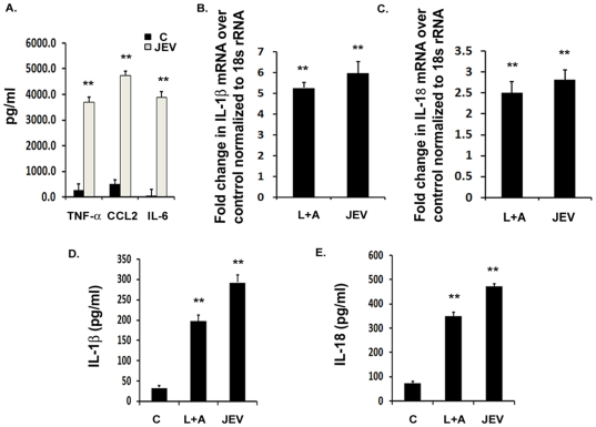 JEV induces the production of IL-1β and IL-18 in vitro . BV-2 microglial cells were infected with 5 MOI of JEV for different time points. LPS+ATP condition was used as a positive control for qRT-PCR, ELISA and caspase-1 activity studies. ( A ) Cytokine analysis from mock-infected control and JEV infected BV-2 cells was carried out after 6 h of JEV infection using cytokine bead array. Graphs represent the levels of pro-inflammatory cytokines, TNF- α, CCL2 and IL-6 after JEV infection with respect to mock-infected control condition. ( B–C ) qRT-PCR studies on total RNA isolated from uninfected cells as well as on BV-2 cells infected with JEV for 3 h. IL-1β and IL-18 mRNA levels are represented in terms of fold change with respect to mock-infected control normalized to 18 s rRNA internal control. ( D–E ) Levels of mature IL-1β and IL-18 cytokines upon JEV infection with respect to mock-infected control condition were measured by ELISA. Graphs represent the fold change values in JEV infected cells with respect to mock-infected control condition. Data represent mean ± SEM from 3 independent experiments performed in duplicate. Statistical differences were evaluated using one way ANOVA with Bonferroni's post hoc test. *, **, Statistical differences in comparison to mock-infected control values (* p