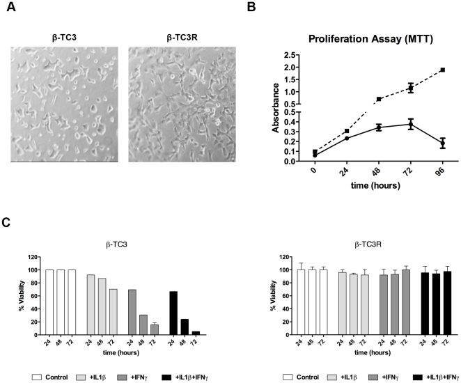 Selection of a β-TC3 cell population resistant to cytokine-mediated cytotoxicity. ( A ) Cell phenotypes: β-TC3R cells (right) show a more elongated (fibroblastic-like) appearance in comparison to parental β-TC3 cells (left). ( B ) Proliferation assay (MTT) at 0, 24, 48, 72 and 96 hours for β-TC3 (continuous line) and resistant β-TC3R (dotted line). ( C ) Cytotoxicity assay (MTT) in β-TC3 (left) and β-TC3R (right) after cytokine treatment (100 IU/ml IL-1β, 100 IU/ml IFN-γ or their combination, for 72 hours).