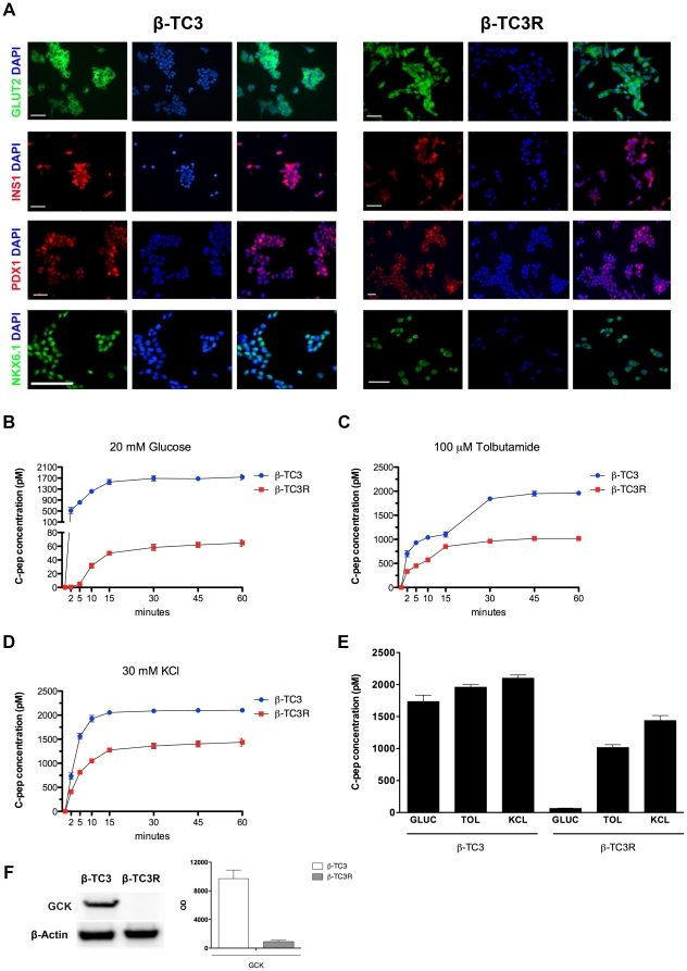 Evaluation of β-cell specific markers and secretory function in β-TC3R cells. ( A ) Immunofluorescence analysis shows persistence of β-cell markers in β-TC3R cells (right panel) despite the acquisition of cytokine resistance. Left panel: sensitive β-TC3. ( B–D ) Stimulation with 20 mM glucose (GLUC), 100 µM of the secretagogue tolbutamide (TOL) or direct depolarization with 30 mM potassium chloride (KCl) during 2-h static incubation of both β-TC3 and β-TC3R cells. ( E ) C-peptide secretion after 1-hr static incubation in β-TC3 and β-TC3R cells. ( F ) western blot analysis of glucokinase (GCK) in β-TC3 and β-TC3R cells. Graph shows quantification of proteic bands performed by densitometric analysis.