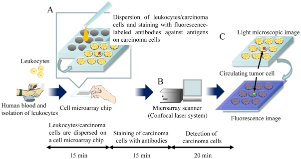 Schematic process for detection of CTCs on a cell <t>microarray</t> chip. (A) Human leukocytes/carcinoma cells are dispersed on a cell microarray chip, followed by 15 minutes' standing to allow the cells to settle down into the microchambers, and are then stained with fluorescence-labeled antibodies against carcinoma cells. (B) Fluorescence-positive CTCs are detected by using a microarray scanner with a confocal fluorescence laser. (C) The target CTCs are analyzed quantitatively at the single-cell level.