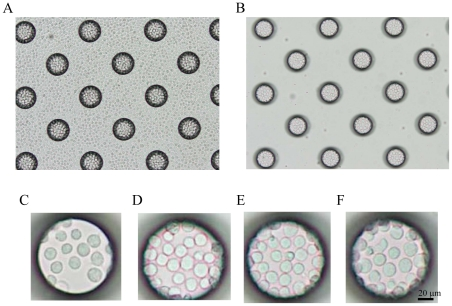 Dispersion of T lymphoblastoid leukemia cells on a cell microarray chip and confinement in the microchambers. (A, B) Photographic light microscopic images of T lymphoblastoid leukemia cells incubated on a cell microarray chip before (A) and after (B) washing of the chip surface. (C–F) Photos of microchamber appearance after washing when T lymphoblastoid leukemia suspensions of 2.5×10 6 (C), 5.0×10 6 (D), 7.5×10 6 (E) or 1.0×10 7 (F) cells/ml were applied to the microarray chip. Concentrations of 7.5×10 6 cells/ml of T lymphoblastoid leukemia and above afforded tight confinement and formation of a monolayer in the microchambers. (Bar: 20 µm).