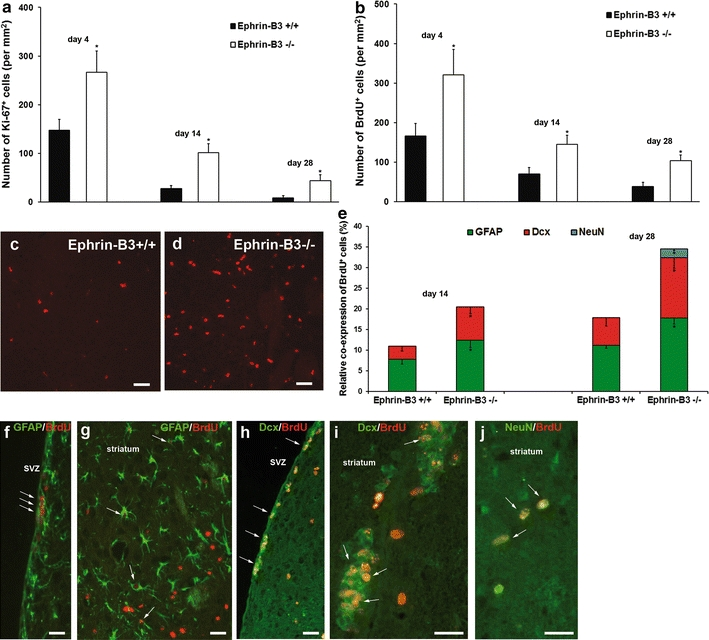 Analysis of post-ischemic cell proliferation and differentiation. Cell proliferation in ephrin-B3 +/+ and ephrin-B3 −/− mice was analyzed using Ki-67 ( a ) and BrdU ( b ) staining. BrdU + cells were scattered within the ischemic striatum as exemplarily depicted on day 28 for ephrin-B3 +/+ ( c ) and ephrin-B3 −/− mice ( d ). Differentiation analysis of BrdU + cells performed at the time points given referred to induction of stroke ( e ). Stainings were performed against GFAP ( f – g ), Dcx ( h , i ) and NeuN ( j ). Quantitative analyses were performed in both the subventricular zone (SVZ) and the ischemic striatum followed by calculation of total cell numbers. Data are given as percentages of co-localizations of BrdU and the specific marker referred to total numbers of BrdU + cells. Arrows indicate co-localization. Scale bar 40 μm. *Significantly different from ephrin-B3 +/+ mice, p