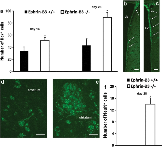 Post-ischemic neurogenesis is increased in ephrin-B3 −/− mice. Absolute amounts of Dcx + ( a – e ) and NeuN + /BrdU + ( f ) cells were determined in ephrin-B3 +/+ and ephrin-B3 −/− mice. In ephrin-B3 −/− mice, Dcx + cells were significantly increased ( a ) in both the subventricular zone (SVZ, c ) of the lateral ventricle (LV) and in the ischemic striatum ( e ). On the contrary, Dcx + cells in ephrin-B3 +/+ mice were reduced in both the SVZ ( b ) and the striatum ( d ). Images ( b – e ) represent data from day 28 post-stroke, whereas arrows indicate the location of the SVZ. Likewise, the number of NeuN + /BrdU + cells was significantly increased in the ischemic striatum of ephrin-B3 −/− mice 4 weeks after stroke ( f ). Scale bar 40 μm. *Significantly different from ephrin-B3 +/+ mice; p