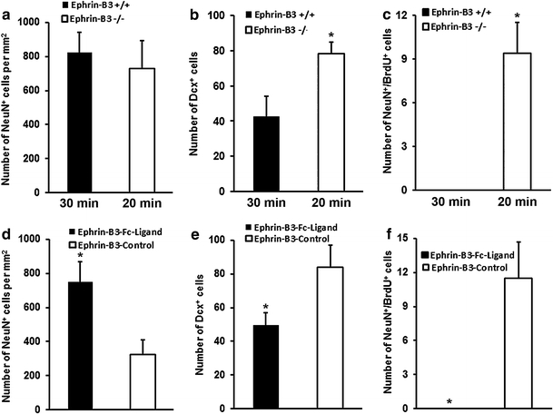 """Enhanced post-ischemic neurogenesis in ephrin-B3 −/− mice does not exclusively correlate to the extent of brain injury. All data a – f refer to day 28 post-stroke. a – c Animals were exposed to 20 min (ephrin-B3 −/− ) or 30 min (ephrin-B3 +/+ ) of cerebral ischemia followed by <t>NeuN</t> staining for assessment of """"neuronal density"""" ( a ). Post-ischemic neurogenesis was assessed analyzing total absolute amounts of Dcx + ( b ) and NeuN + <t>/BrdU</t> + ( c ) cells in both animal strains. d – f Analysis of """"neuronal density"""" ( d ) and numbers of Dcx + ( e ) as well as NeuN + /BrdU + ( f ) cells in ephrin-B3 −/− mice that received intraventricular infusion for 28 days of either ephrin-B3-Fc or Fc-fragments as control. *Significantly different from ephrin-B3 +/+ or ephrin-B3 −/− control mice, p"""