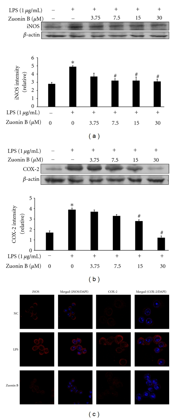 Inhibition of inducible nitric oxide synthase <t>(iNOS)</t> and cyclooxygenase-2 (COX-2) expression by Zuonin B. RAW264.7 cells were pretreated with different concentrations of Zuonin B for 1 h and stimulated with LPS (1 μ g/mL) for a further 24 h. Equal amounts of protein in cell lysates were electrophoresed, and the protein expression levels of iNOS (a) and COX-2 (b) determined using specific antibodies for iNOS and COX-2. The respective levels of β -actin were used to confirm equal amounts of protein loading for electrophoresis. Interleukin COX-2 and iNOS mRNA levels in lung tissue, (c) Cells were cultured for 24 h with LPS (1 μ g/mL), fixed, permeabilized, and incubated with rabbit <t>polyclonal</t> anti-iNOS and COX-2 antibody, followed by Texas-red conjugated anti-rabbit Ig (red). The nuclei of the corresponding cells were visualized with 4′,6-diamidino-2-phenylindole (DAPI) (magnification ×400). NC: untreated control cells; LPS: LPS only treatment.