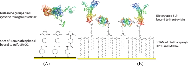 Schematic showing the two alternate tethering methods for SLP incorporation on to gold surfaces. (A) mSAM incorporation of SLP by MHDA/biotin-caproyl-DPPE mSAM, deposited with a Neutravidin layer that binds to pre-biotinylated SLP. (B) Porous membrane model with molecular linkers of 1.5 nm length binding SLP through a stable permeable membrane as maleimide groups covalently bind to thiols on protein cysteine residues.