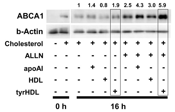 tyrHDL increases cellular ABCA1 in the presence of ALLN . Cholesterol-loaded fibroblasts were incubated with BSA and 10 μg/ml apoA-I, HDL, or tyrHDL with or without protease inhibitor ALLN (50 μM) to inhibit endogenous calpain for 16 h. ABCA1 was determined by immunoblotting as in Figure 3. The data are representative of three experiments with similar results.