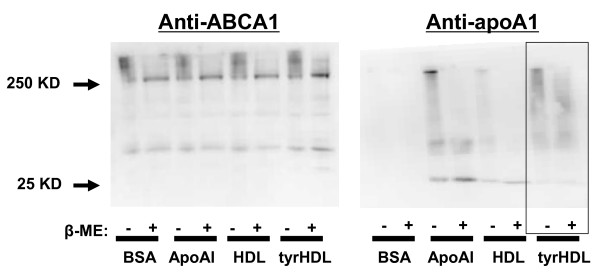 Crosslinking of tyrHDL to ABCA1 . Cholesterol-loaded fibroblasts were equilibrated in the presence of 5 μM T0901317 for 24 h to upregulate ABCA1 expression. The cells were then treated with BSA alone or plus 10 μg/ml apoA-I, HDL and tyrHDL for 2 h, washed, and then incubated with 250 mM of DSP for 1 h. Whole cell lysates were isolated, run on a 5-15% SDS-PAGE gradient gel and probed for the presence of ABCA1 and apoA-I by immunoblot. 5% beta mercaptoethanol (β-ME) was used as a reducing agent to cleave crosslinks formed by DSP. Results are representative of three separate experiments with similar results.