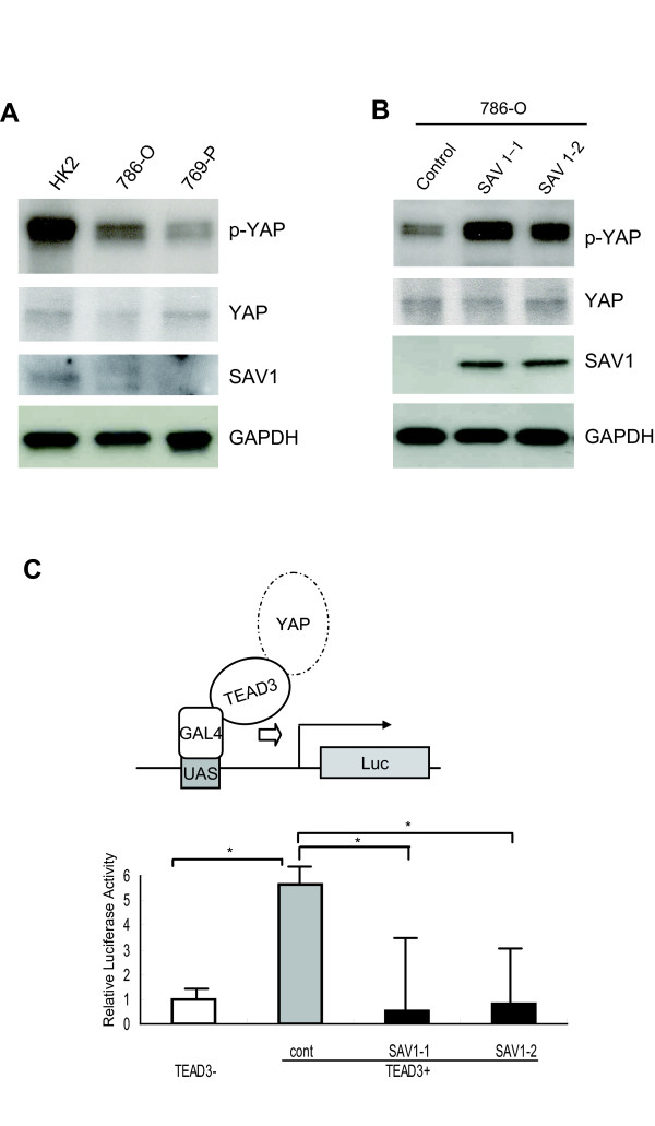 Downregulation of SAV1 activates YAP1 . a Phosphorylation of YAP1 was decreased in RCC cell lines. Phosphorylation of YAP1 in HK2, 786-O and 769-P cells was analyzed by Western blot analysis with anti-phospho-YAP antibody, anti-YAP antibody, and anti-GAPDH antibody, respectively. Protein level of SAV1 in each cell line was demonstrated with anti-SAV1 antibody. SAV1 was detectable only in HK2 cells. b Phosphorylated YAP1 is increased in SAV1-transduced 786-O cells. 786-O cells were transduced with <t>pLenti6.3/V5-DEST</t> empty vector or SAV1-pLenti6.3/V5-DEST, and one clone of control cells (designated as the control) and two independent clones of SAV1-re-expressing cells (designated as SAV1-1 and SAV1-2) were established. Western blotting was performed with anti-phospho-YAP antibody, anti-YAP antibody, anti-SAV1 antibody and anti-GAPDH antibody, respectively. c SAV1 suppresses transcriptional activity of YAP1-TEAD3. SAV1-1, SAV1-2 and control cells were transfected with the Gal4-TEAD3 plasmid vector that expresses TEAD3 fused to GAL4 (kindly provided by Dr. B. Zhao [ 19 ]), Gal4-9x UAS luciferase reporter (pGL4.31), and pRL-CMV. Firefly luciferase activity was normalized to Renilla luciferase activity. Normalized luciferase activity in control cells untransfected with TEAD3 was set at 1. In SAV1-1 and SAV1-2 cells, the luciferase activity was significantly decreased. Experiments were performed in triplicate. The dual luciferase data are shown as mean ± SD. * p