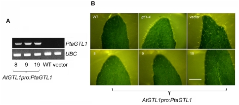 AtGTL1pro:PtaGTL1 expression suppresses the leaf trichome phenotype of gtl1-4 . WT is Col-0; vector is a transgenic line expressing pCAMBIA1302 in gtl1-4 ; 8, 9, and 19 are three transgenic lines expressing AtGTL1pro:PtaGTL1 in gtl1-4 . A. PtaGTL1 transcript abundance in 4-week-old plants was detected by RT-PCR with PtaGTL1 gene-specific primers (PtaGTL1 F2 and PtaGTL1 R2). UBC (ubiquitin conjugating enzyme 21, At5g25760) was used as an internal standard. B. Bright-field images, taken under a dissecting microscope, illustrate trichomes on the adaxial surface of fully expanded rosette leaves of 4-week-old plants. Bar indicates 4 mm.