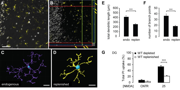 Replenishment of microglia-depleted slice cultures with primary mouse microglia reduces excitotoxicity-induced neuronal cell death . After 9 days in vitro , cultured primary mouse microglia were carefully pipetted onto depleted slice cultures at a density of 400 cells per slice culture. 12 days later, slice cultures were immuno-stained for NeuN (grey) and Iba1 (yellow) revealing that exogenously applied microglia showed equal distribution and a ramified morphology ( A , D ) and were integrated into the tissue ( B ). The cells (yellow arrows) had distributed themselves throughout the total depth of the slice cultures as examined by confocal microscopy ( B : orthoview of a z-stack). 3D reconstructions of microglia filaments, created by IMARIS filament tracer software from Iba1 fluorescently stained cells in z-stacks of slice cultures, were used to analyse the morphology of endogenous microglia and replenished primary mouse microglia. Figure C and D show examples for reconstructions of endogenous microglia (endo microglia) and replenished primary microglia (primary microglia), respectively. The starting point of the filaments was set at the cell soma (blue). Analysis of the morphologic parameters total dendritic length ( E ) and number of branch points ( F ) revealed significantly shorter dendritic length and less branching points in replenished primary microglia compared to endogenous microglia (*** p