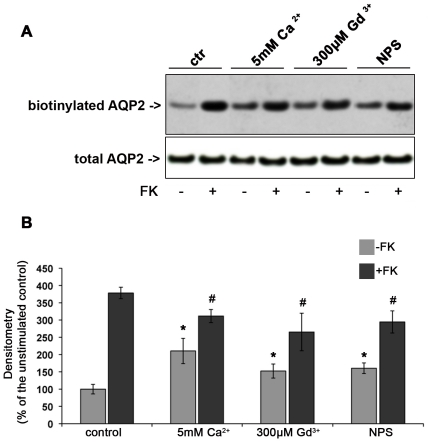 Effect of CaR signaling on AQP2 trafficking in MCD4 cells. Apical surface biotinylation. (A) MCD4 cells were preincubated with 5 mM Ca 2+ , 300 µM Gd 3+ or 10 µM NPS-R 568 then exposed to FK10 −4 M or left under control conditions. Apical membrane-expressed AQP2 was quantitated by apical surface biotinylation. FK-induced AQP2 membrane accumulation was significantly reduced in the presence of CaR agonists. CaR agonists induced a mild increase in AQP2 membrane expression even in the absence of FK stimulation. The total amount of AQP2 in the starting preparation was comparable in each experimental condition (total AQP2). (B) Densitometric analysis of the 29 kDa biotinylated AQP2 band. Results are expressed as mean values ± SEM. The values obtained in five independent experiments are expressed as percentages of the basal condition. Data were compared by one-way Anova and Tukey's multiple comparison test (* P