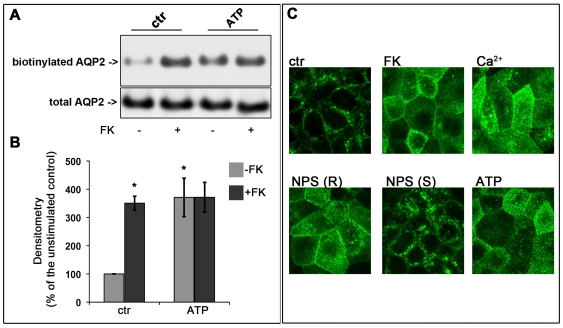 Effect of ATP stimulation on AQP2 trafficking in MCD4 cells. (A) MCD4 cells were preincubated with 100 µM ATP or used under control conditions and then stimulated with FK 10 −4 M. The amount of apical AQP2 was quantitated by apical surface biotinylation. ATP caused AQP2 membrane accumulation comparable to that found in FK treated cells. The total amount of AQP2 in the starting preparation was comparable in each experimental condition (total AQP2). (B) Densitometric analysis of the 29 kDa biotinylated AQP2 band. Results are expressed as mean values ± S.E.M. The values obtained in three independent experiments are expressed as percentages of the basal condition. Data were compared by one-way Anova and Tukey's multiple comparison test (* P
