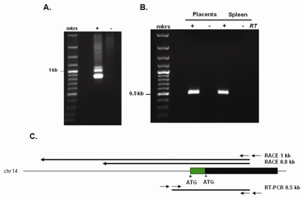 Identification and characterization of RNase 8 transcript . (A) ~ 800 and ~1000 bp transcripts encoding RNase 8 were isolated from human spleen cDNA using a nested rapid amplification of cDNA ends (RACE); +, including adapter primer;-without adapter primer. (B) Findings from RACE confirmed by RT-PCR using two unique sources of poly A + RNA; +, including reverse transcriptase;-without reverse transcriptase. (C) RNase 8 on human chromosome 14; black bar, coding sequence originally described [ 25 ] green bar, novel amino terminal extension. RACE amplification products are shown above extending 0.8 and 1 kb from primer within the RNase 8 coding sequence; nested RT-PCR amplification product (0.5 kb) is also as shown below. The GenBank accession number for the spleen cDNA RNase 8 transcript sequences is JQ353679 .