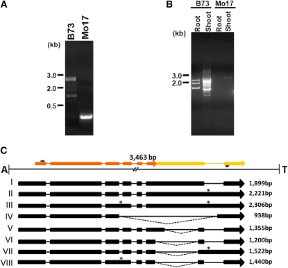 Genomic and RT–PCR analysis of Helitron Hel1-331 . (A) PCR product amplified from genomic DNA extracted from different maize inbred lines using primers, H31-1F and H31-1R, flanking the 5′ and 3′ sequence of the Helitron insertion, respectively. (B) RT–PCR products amplified from root and shoot tissues of maize inbred lines B73 and Mo17 using primers, H31E1F and H31E7R. (C) Splice alignment of the sequences of the RT–PCR products shown in B with the Helitron Hel1-331 sequence. The exons of a captured hypothetical gene, gi: 212721678, and an uncharacterized gene, are color coded in orange and yellow, respectively. In the alignment, boxes and lines denote exons and introns, respectively. Alternative donor and acceptor splice sites are joined by dashed lines and * marks the position of the retained introns. The size of the transcripts and the A and T nucleotides flanking the insertion site of the Helitron are indicated.