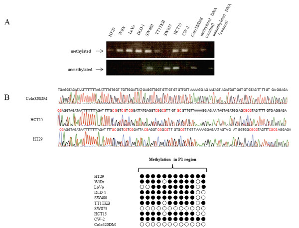 Analysis of KEAP1 promoter region methylation status in CRC cell lines . ( A ) Results of MSP in 10 CRC cell lines. ( B ) Results of BSP. Representative methylation analysis of CpG islands at the promoter region of the KEAP1 gene (upper). Methylation is indicated in red. Methylation status of each of the 12 CpG sites in 10 CRC cell lines (lower). Black circles represent methylated CpGs. White circles represent unmethylated CpGs.