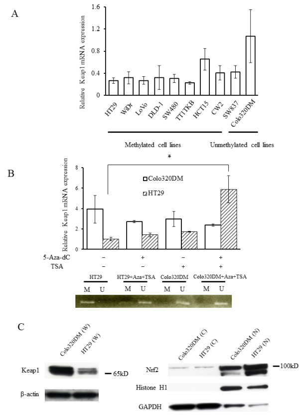KEAP1 and Nrf2 expression . ( A ) KEAP1 mRNA expression in 10 CRC cell lines was evaluated by real-time PCR. The expression level in Colo320DM cells was arbitrarily designated as 1. Columns, mean ( n = 3); bars, standard deviation (SD). ( B , upper) KEAP1 mRNA levels in HT29 cells (methylated) and Colo320DM cells (unmethylated) were analyzed by real-time PCR after treatment with 5-Aza-dC, TSA, and 5-Aza-dC + TSA. The expression level in HT29 cells was arbitrarily designated as 1. Columns, mean ( n = 3); bars, SD. * P