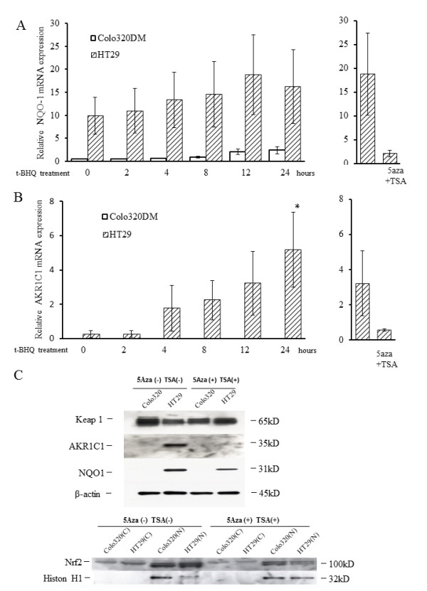 Expression of the Nrf2 target genes NQO- 1 and AKR1C1 after t-BHQ treatment . Real-time PCR analysis of the Nrf2 target genes NQO-1 ( A , left) and AKRC1 ( B , left) in HT29 cells (methylated) and Colo320DM cells (unmethylated). Cells were treated with the Keap1 stimulator t-BHQ for 24 h. Columns, mean ( n = 3); bars, SD. * P