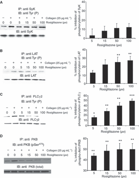 The peroxisome proliferator-activated receptor- γ (PPAR γ ) ligand rosiglitazone modulates glycoprotein VI (GPVI) signaling. Washed platelets were incubated with rosiglitazone or vehicle control for 3 min and then stimulated with collagen (25 μg mL −1 ) for 90 s. Syk (A), LAT (B), PLCγ2 (C) and <t>PKBα/AKT</t> were immunoprecipitated and immunoblotted to detect phosphotyrosine residues. PKBα/AKT phosphorylation (Ser 473 ) was measured using a phosphospecific antibody. Equivalent protein loading was verified by reprobing for Syk (A), LAT (B), PLCγ2 (C) and PKBα/AKT (D). Densitometry analyzes were performed on replicate experiments using blood from four different donors, and data normalized for protein loading levels [mean ± SEM ( n = 4), t- test * P ≤ 0.05, ** P ≤ 0.01 and *** P ≤ 0.001].